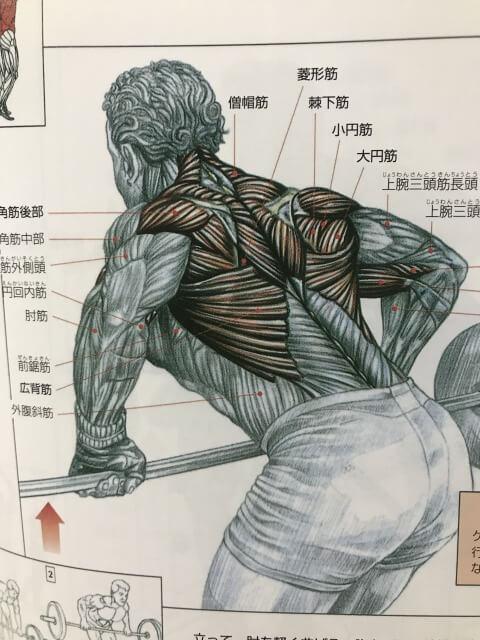 背中の筋肉の構造