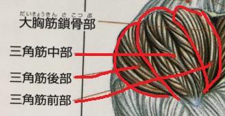 肩の筋肉の構造2