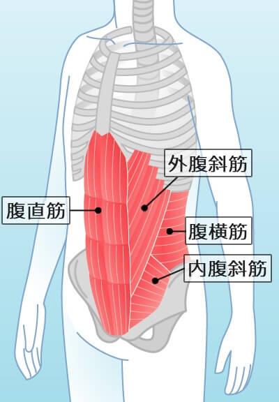腹筋の解剖図