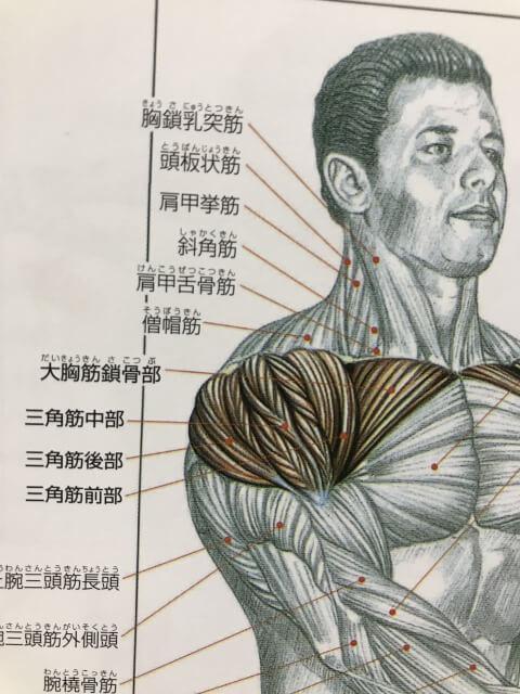 肩の筋肉の解剖図