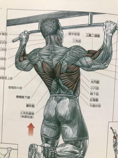 背中の筋肉の解剖学的な図